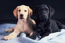 Artificial Insemination in Dog Breeding