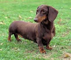 daschund Wiener Dogs