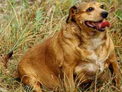 dog diabetes