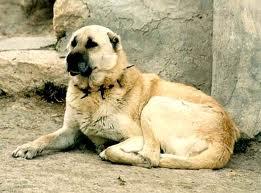 Kangal Dogs