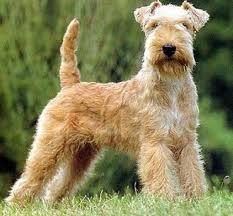 Wire-haired Terriers