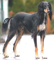 saluki Dog of Egypt